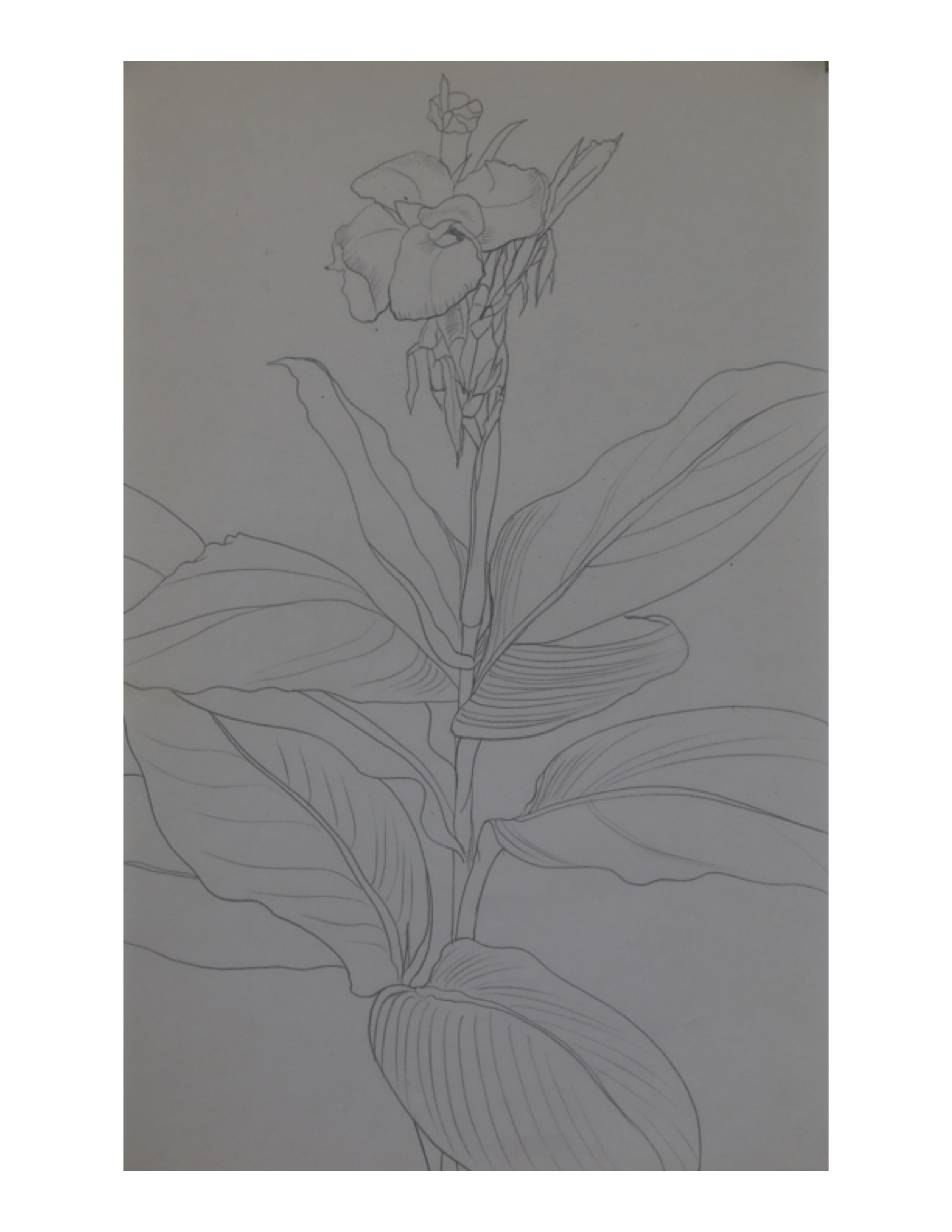 Canna lily, July 8, 1987, pencil on paper, 21.4 cm x 34 cm