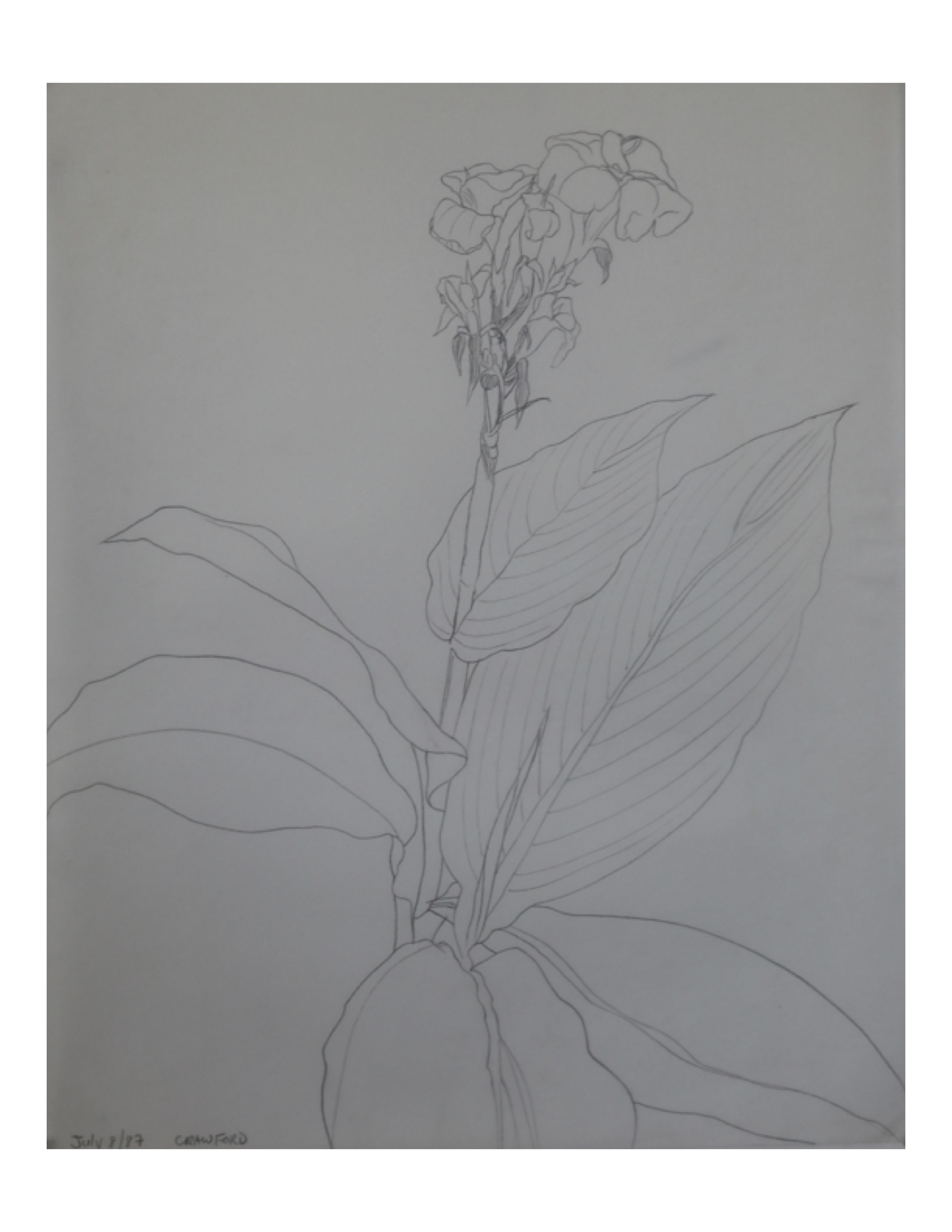 Canna lily Pakistan garden 2, July 8, 1987, pencil on paper, 27.8 cm x 35.5 cm