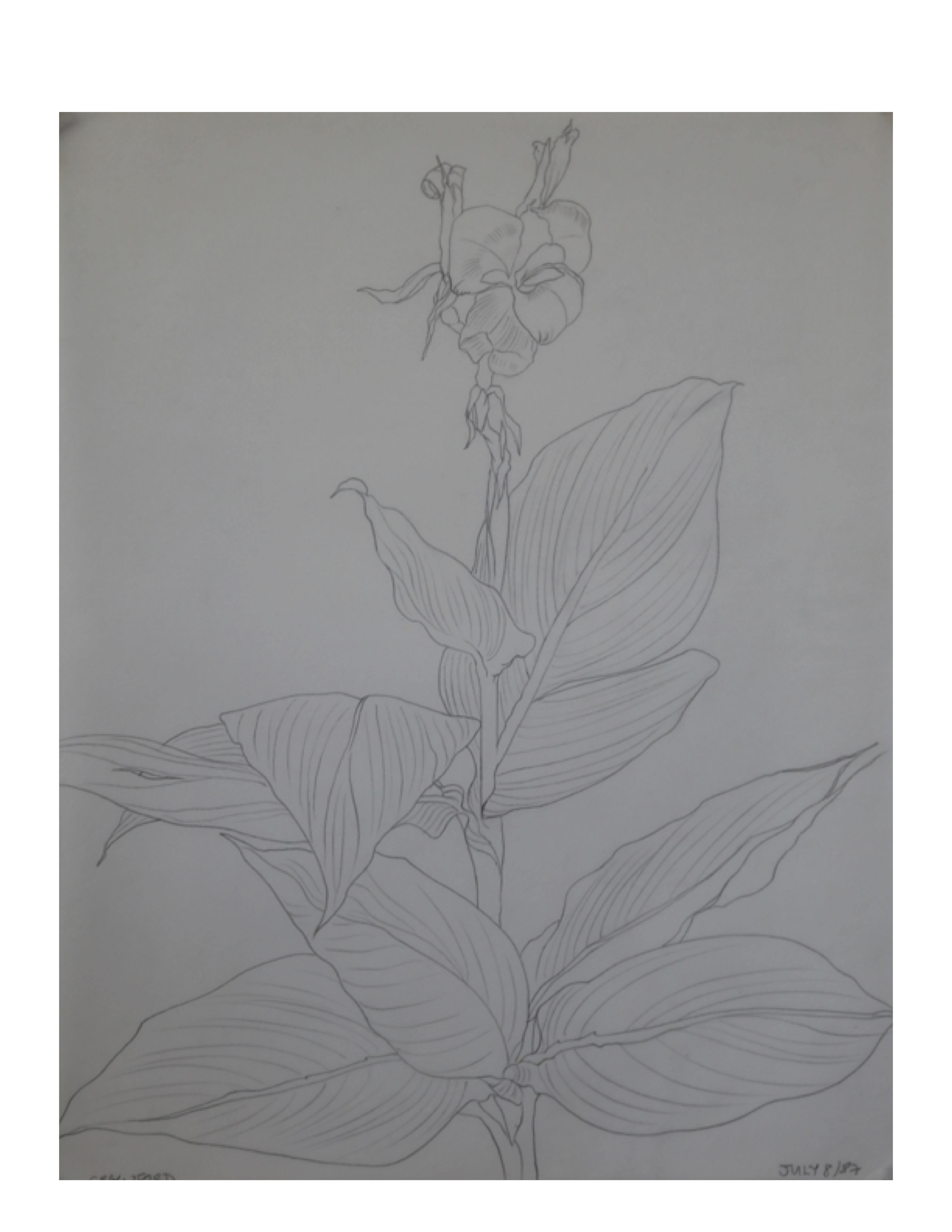 Canna lily Pakistan garden, July 8, 1987, pencil on paper, 27.9 cm x 35.5 cm