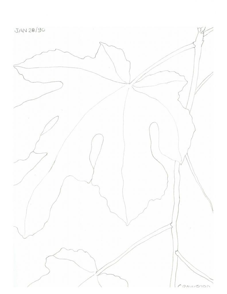 Fig plant drawing 3, Jan 28, 1990, pencil on paper, 21.5 cm x 28 cm